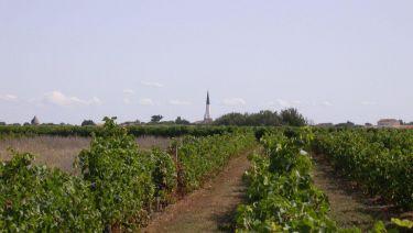 La vigne - Ars en Ré